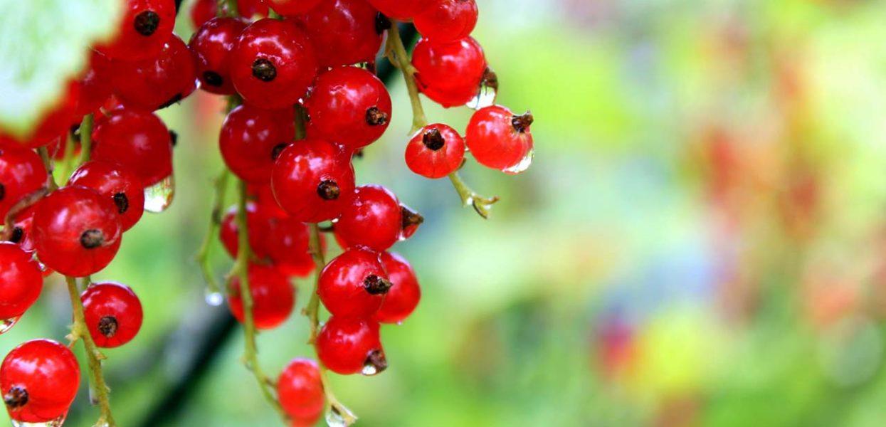 Красная смородина: лучшие сорта, посадка и уход
