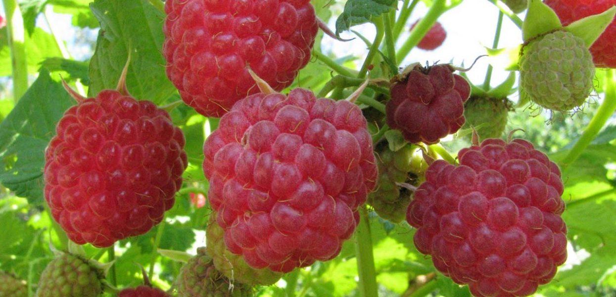Малина — как посадить и ухаживать