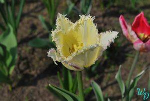 Тюльпан желто-красный