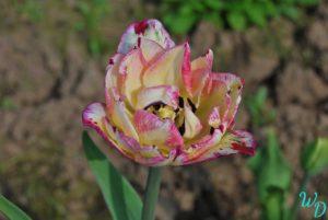 Тюльпан желто-розовый