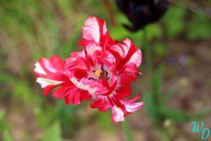 Тюльпан красный попугай