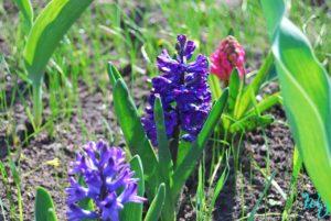 Гиацинты фиолетовые