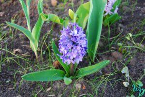 Гиацинты фиолетовый