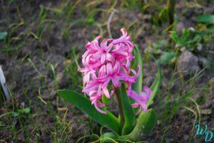 Гиацинты розовый