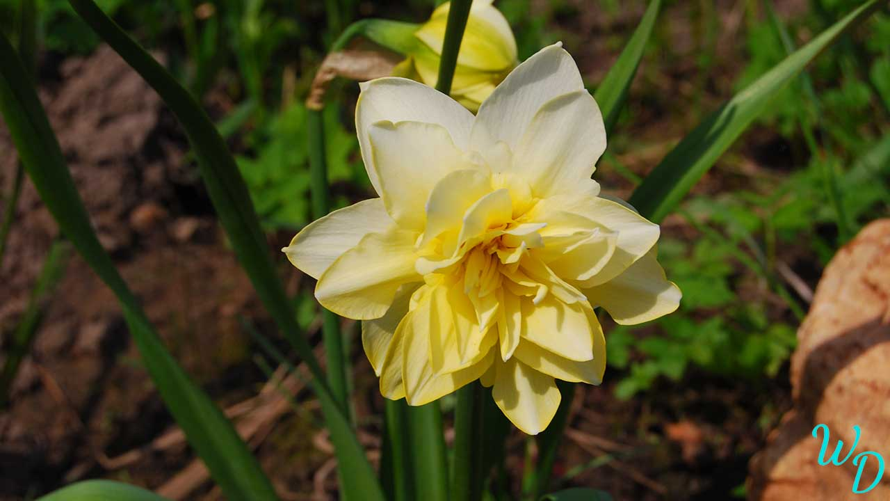 Нарцисс светлый