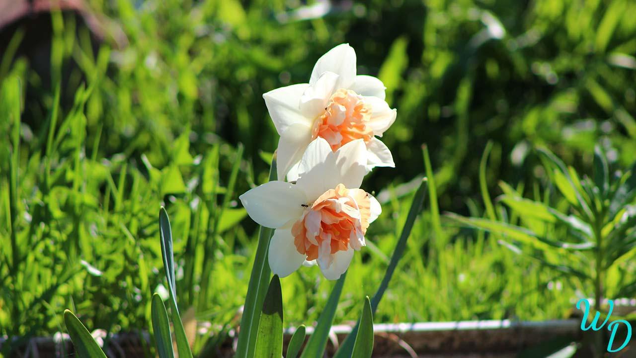 Нарциссы красивые