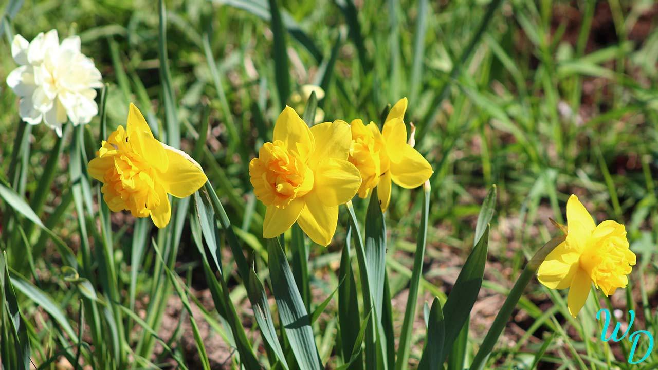 Нарциссы ярко желтые