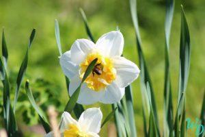 Нарциссы белые с желтой серцевиной