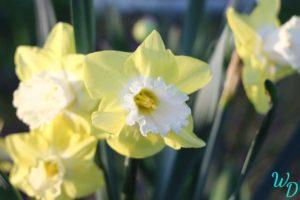 Нарциссы желтые с белой серцевиной