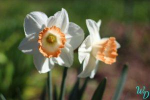 Нарциссы белые