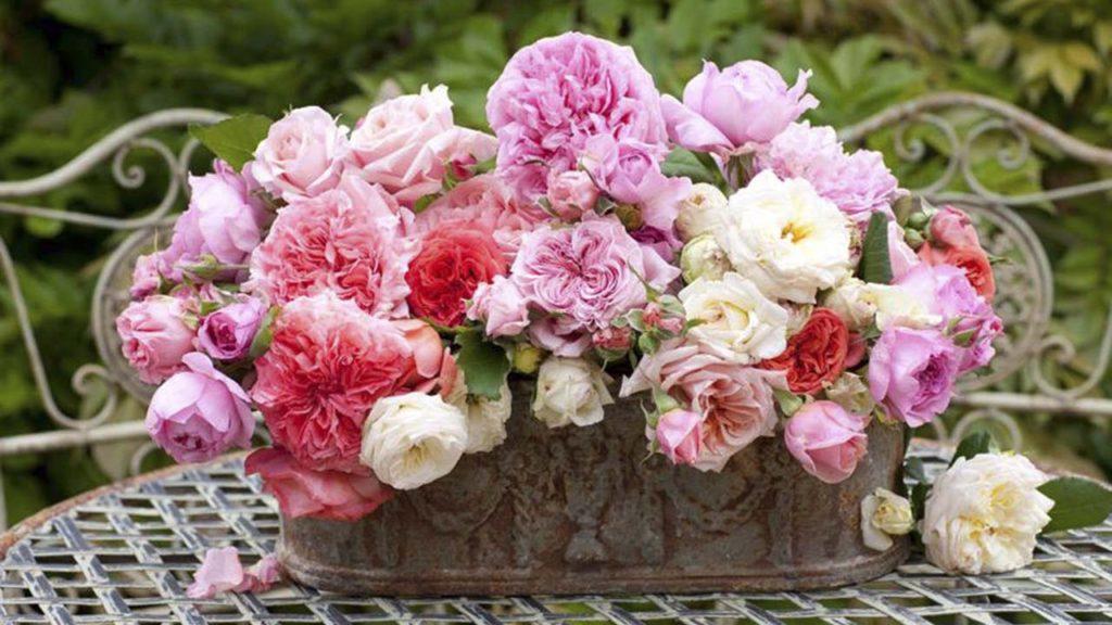 Роскошные розы Гийо и Массада