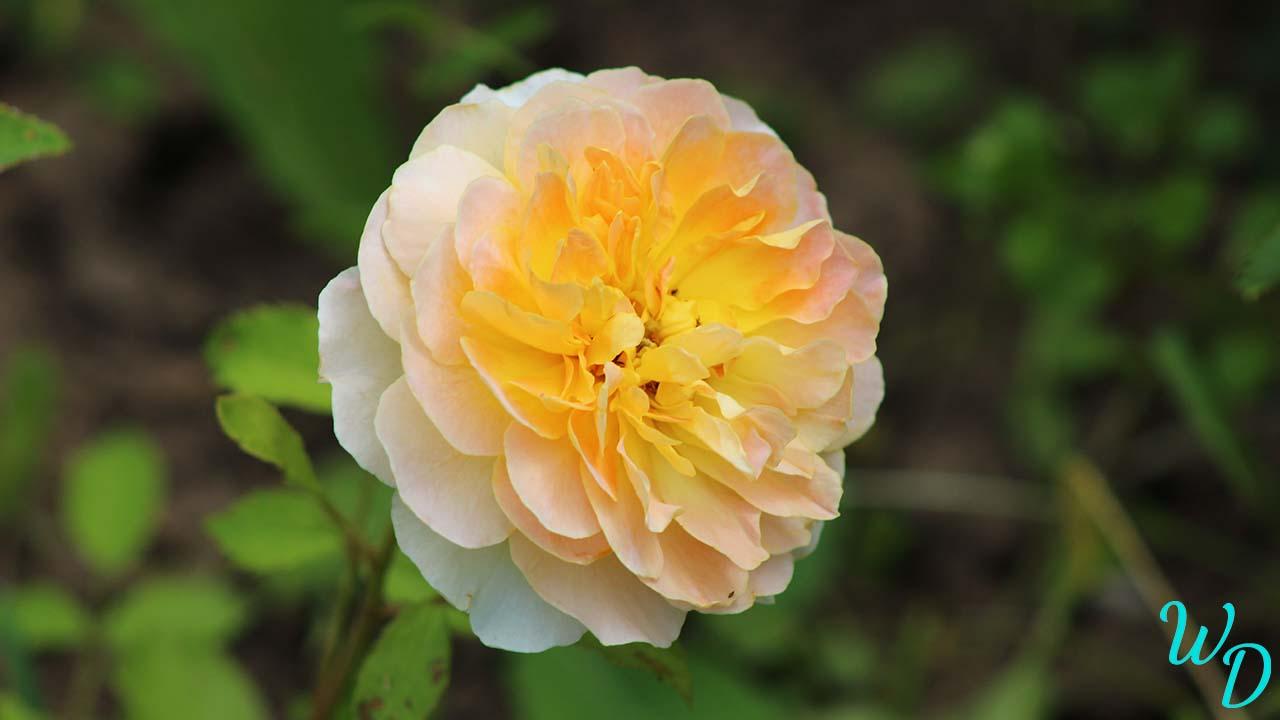 Роза Остина MOLINEUX (Молинью)