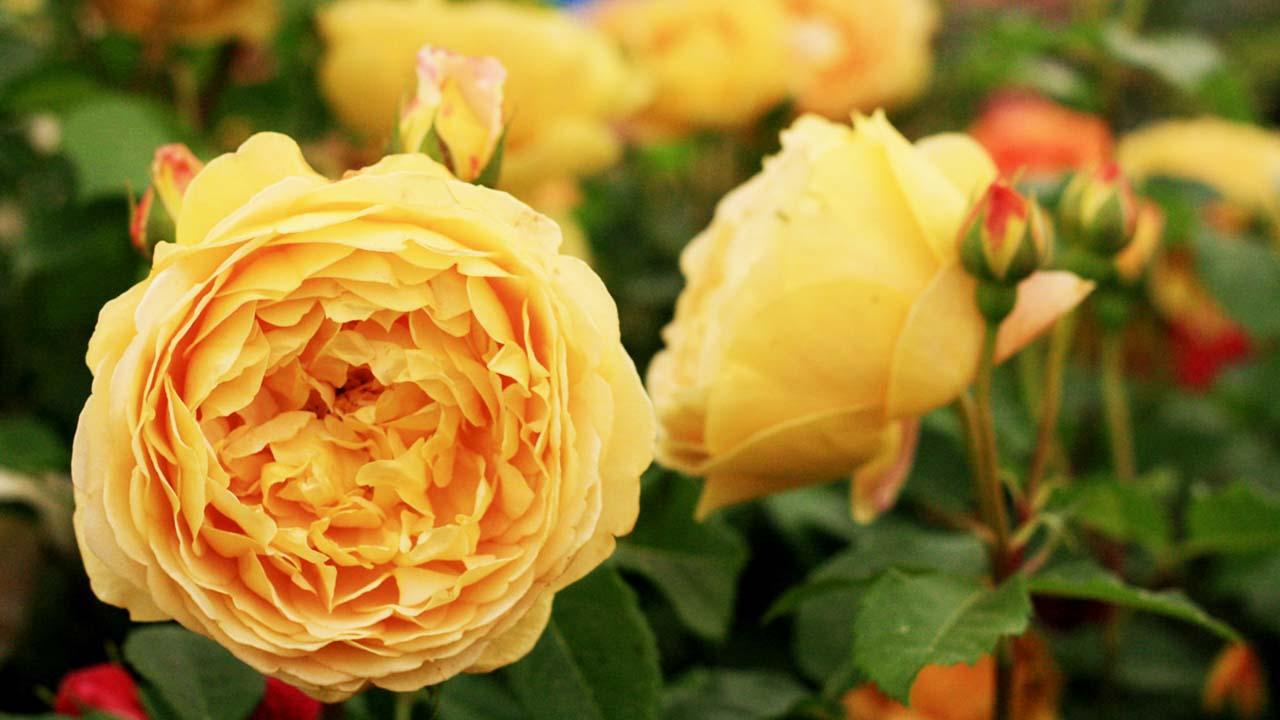 Golden Celebration (Голден Селебрейшн)