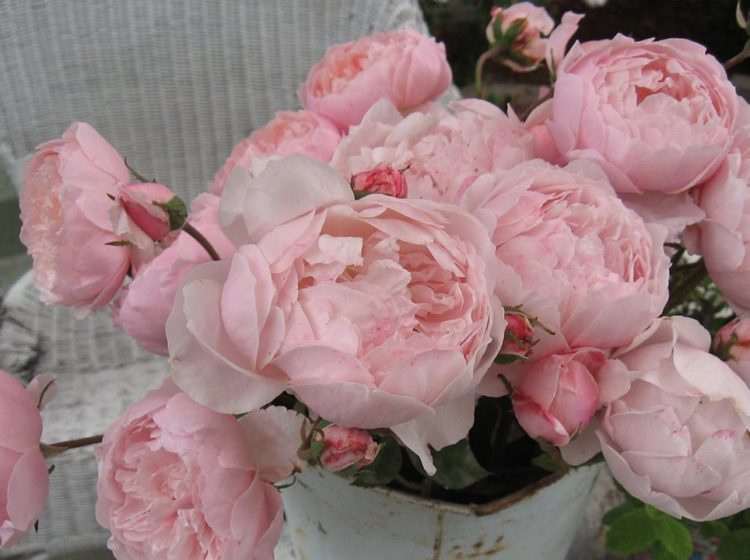 The Alnwick Rose (Зе Алнвик роуз)