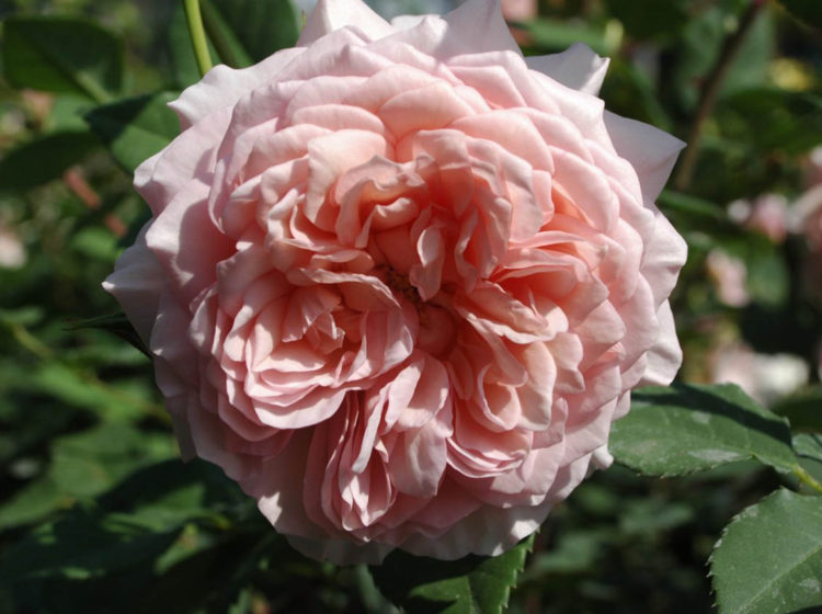 William Morris (Уильям Моррис)