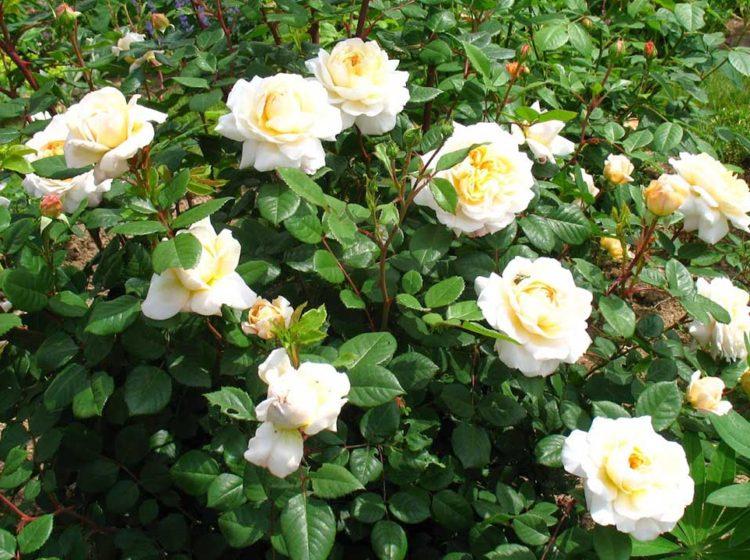 Crocus Rose (Крокус роуз)