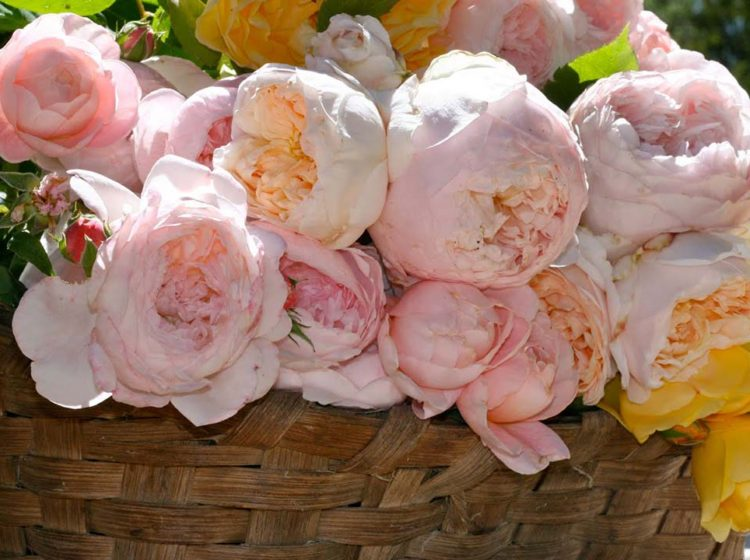 Великолепные сорта роз Дэвида Остина