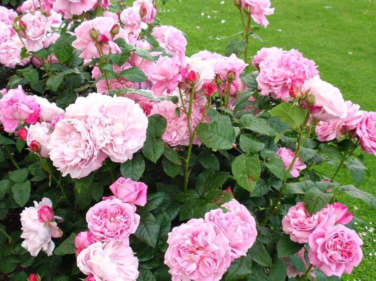 Mary Rose (Мери роуз)