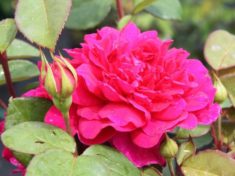 Sophy's Rose (Софи Роуз)